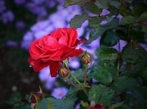 roses tea garden